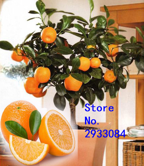 Fruit seeds Orange Tree Seeds DWARF WASHINGTON NAVEL Grow Indoors or Outdoors 30pcs