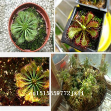 Big sale 200pcs/lot Drosera ,Sundew seeds Carnivorous plants bonsai flower seeds home garden free shipping