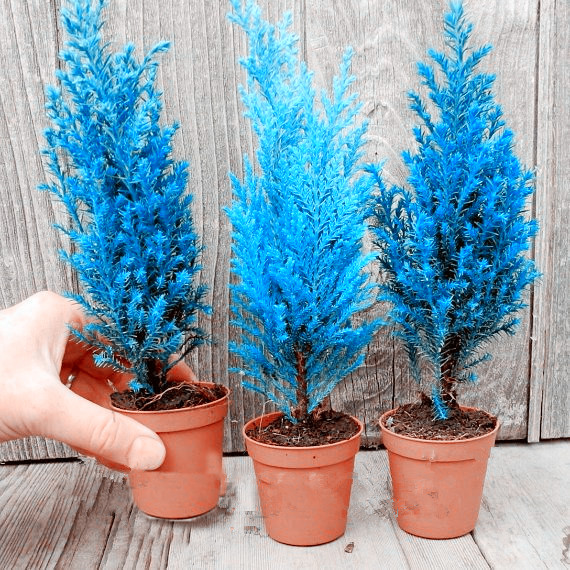 30 Pcs Rare Cypress Trees Conifer Cypress Planta Outdoor Evergreen Landscape Plant,100% True Bonsai Potted Plant For Home Garden