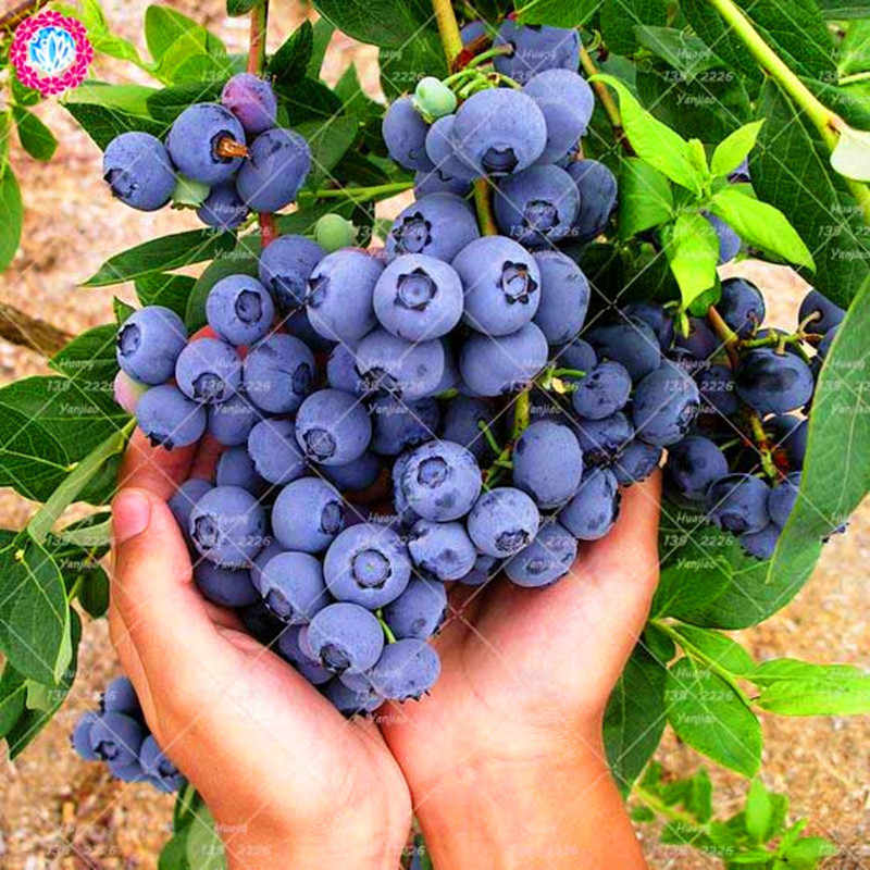 Фото 100 шт Сладкая черника бонсай дерево здоровые фрукты горшечные растения семена