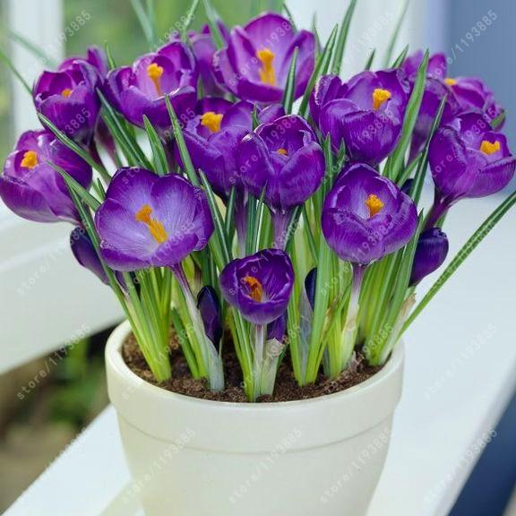 ахименесы ризомы комнатные цветы купить в Китае