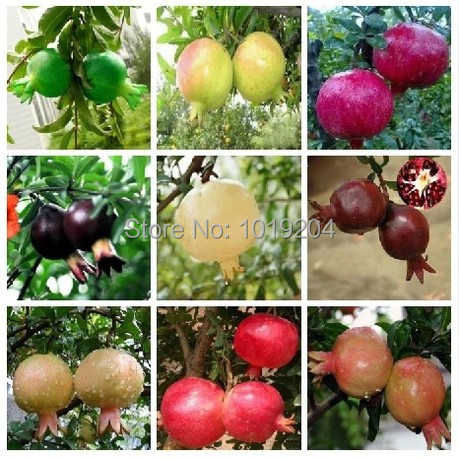 online get cheap pomegranate plant aliexpress  alibaba group, Natural flower