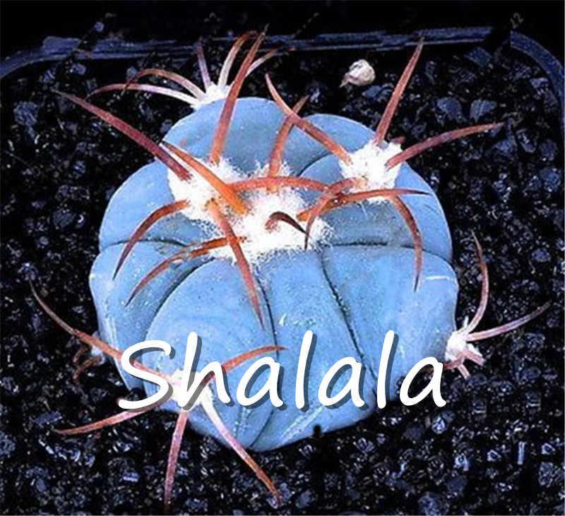 200 шт экзотическая синий сочный кактус редкий кактус многолетнее травянистое растение растения бонсай цветочный горшок в помещении для сада Semilla повязка на голову
