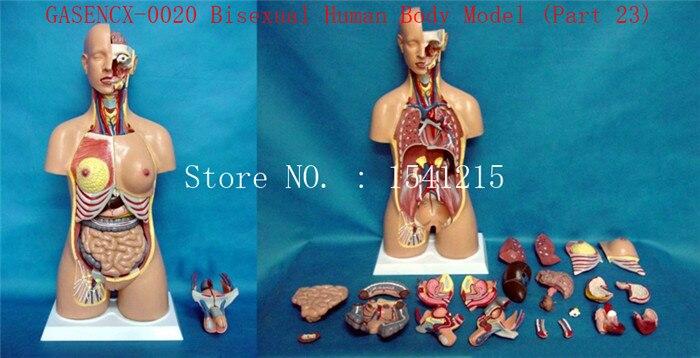 Modèle de torse d'anatomie humaine enseignement médical modèle de corps humain bisexuel (23 parties) 85CM-GASENCX-0020