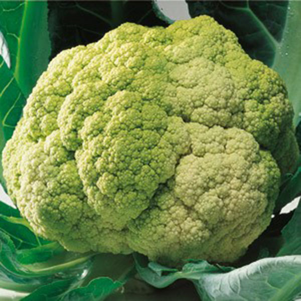 Vegetable seeds Italy imported green cauliflower seeds 3 grams / bag