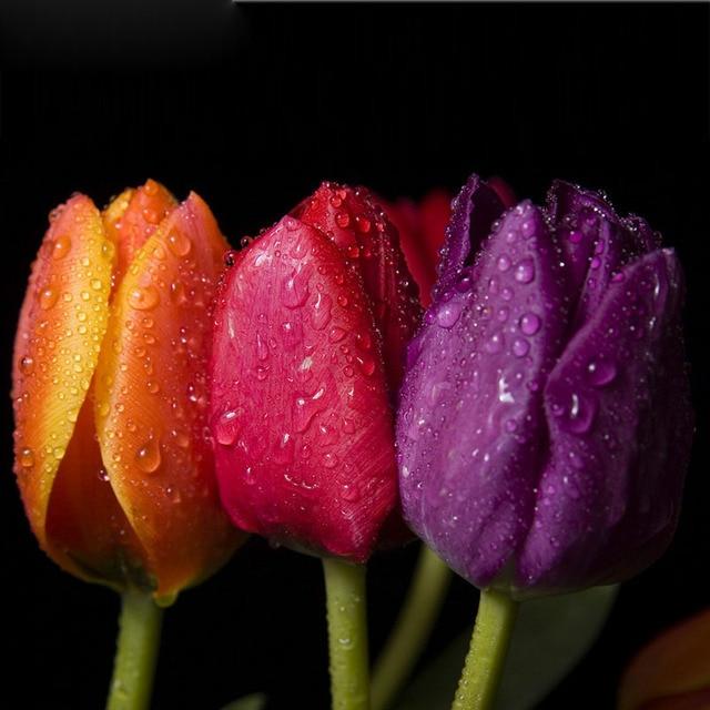 amarillo púrpura tulipanes rojos semillas de plantas con flores en