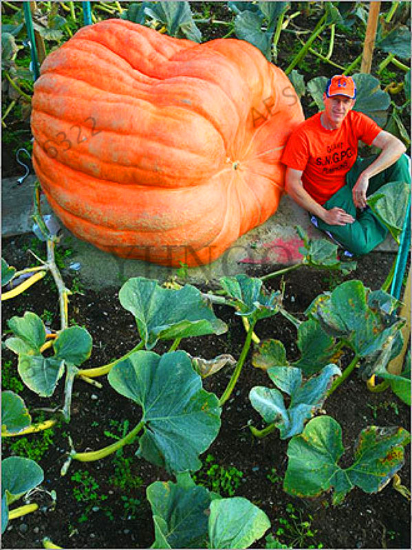Loss Promotion!20Pcs Giant Pumpkin Bonsai Halloween Pumpkin Organic Garden Vegetables Nutrient-rich Food NON-GMO Edible Plants