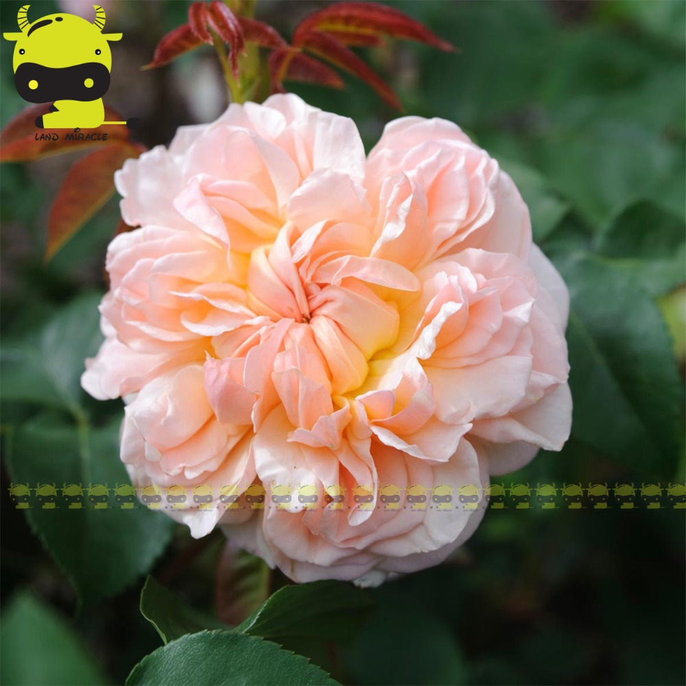 Rare Evelyn Climbe Rose Flowers Seeds 50 Seeds Giant Yellow