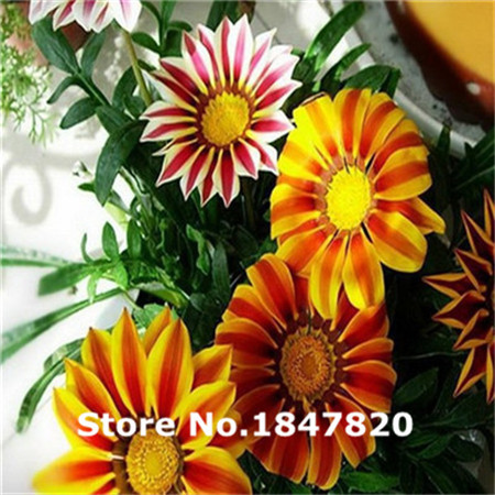 Rare Gazania Seeds, 10 kinds 100 Mix Colors Flower Seeds, High survival Rate for Home and Garden.