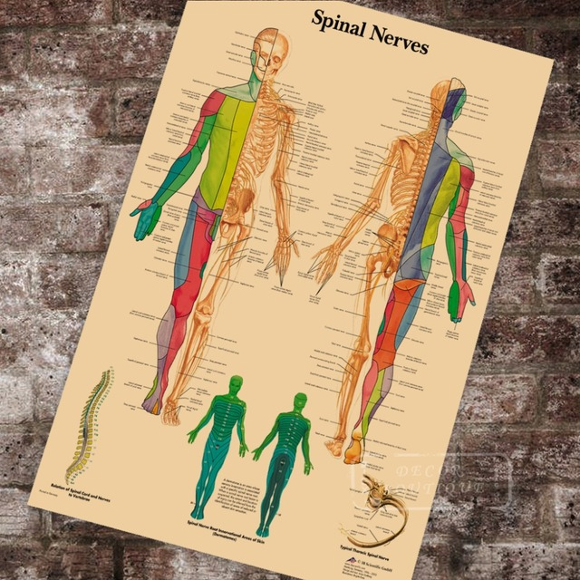 US $3 98 |Anatomy Pathology Anatomical Spinal Nerves Chart Classic Canvas  Paintings Vintage Wall Posters Stickers Home Decor Gift-in Painting &