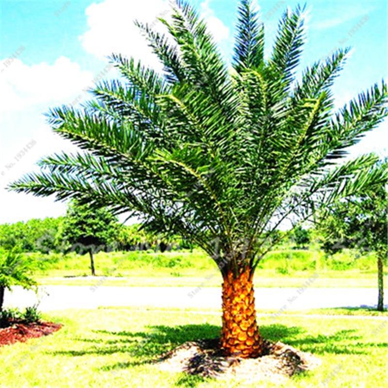 50 Pcs Giant Madagascar Palm Tree ,Tropical Ornamental Plants Landscape  Bonsai Tree Garden Decoration Foliage Plant Easy Grow In Bonsai From Home U0026  Garden ...