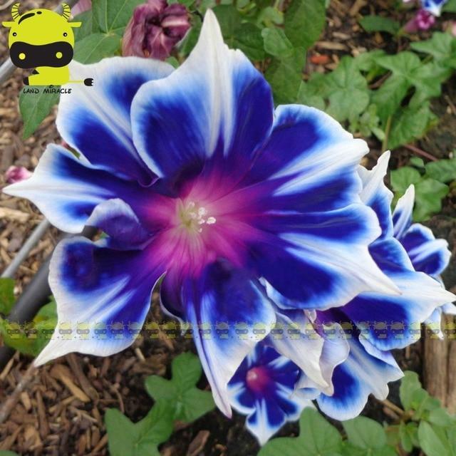 Seltene Picotee Blau Morning Glory Blumen saatgut, 50 Samen/Pack ...