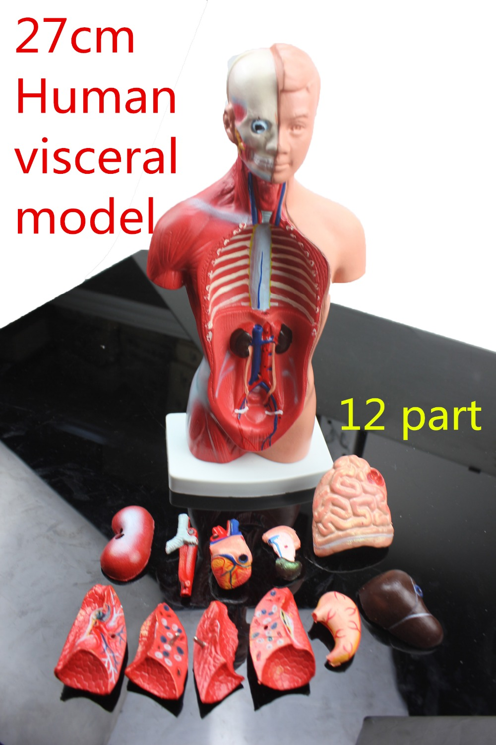 Medical teaching model 27CM 12part human torso anatomical model human organs visceral muscle model Trunk anatomy model Removable skin block model 26 points displayed human skin anatomical model skin model