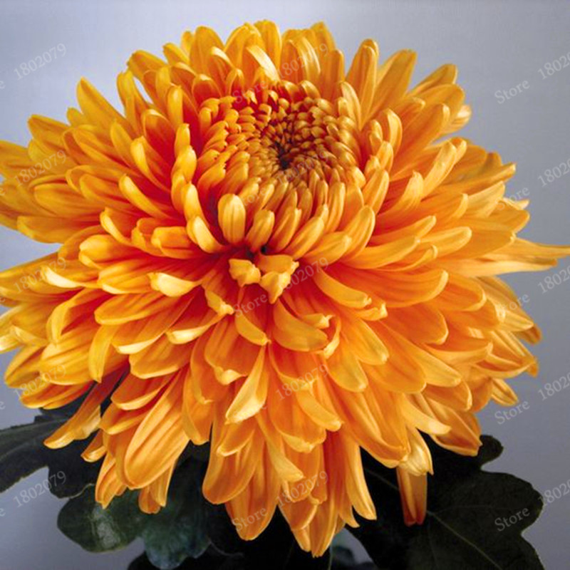 Chinese mum seeds rare perennial flower seeds indoor bonsai plants chinese mum seeds rare perennial flower seeds indoor bonsai plants chrysanthemum plant for home garden mixed color 200pcsbag in bonsai from home mightylinksfo