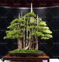 50pcs/Bag Thunbergii Black Pine bonsai Tree flores Potted Plants Japanese for home garden plants