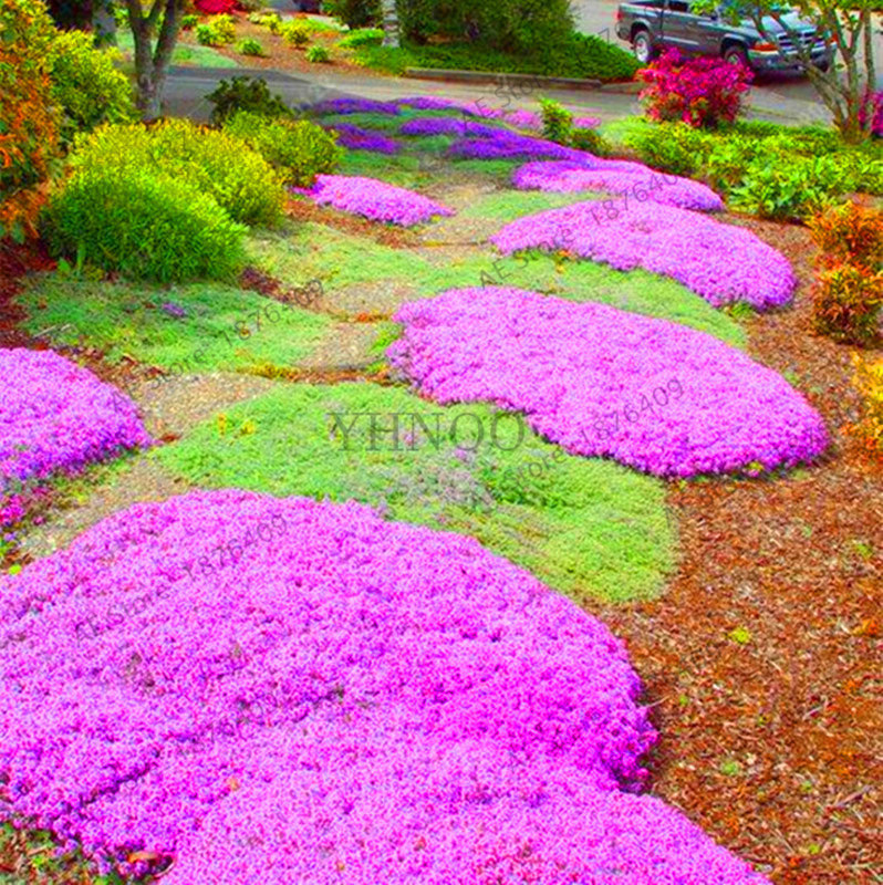 Lowest Price!100 Creeping Thyme bonsai Flower flores ROCK CRESS GROUND COVER plantas Carpet Evergreen Plant Easy to Grow for Gar