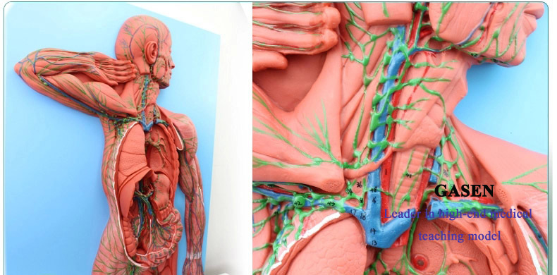 HUMAN ANATOMY OF THE LYMPHATIC SYSTEM MODEL LYMPH LYMPHOID ORGANS GASEN XZ010