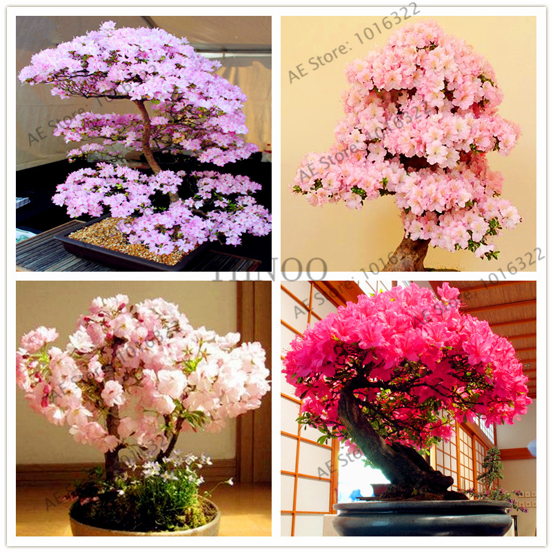 10pcs/bag Japanese Sakura Plant Cherry Blossoms Bonsai Tree Flores Sakura Plantas For Home And Garden