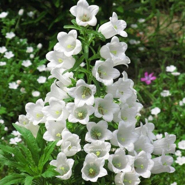 100 stücke blume campanula samen, multicolor, mehrjährige blumen samen, besten pflanzen für mini Garten