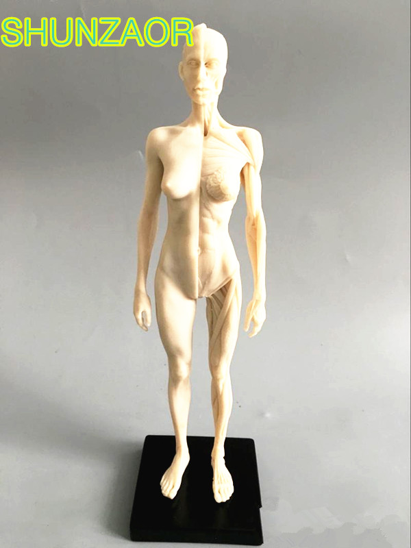 30cm  White  Human Female Model Anatomy Skull Head Muscle Bone Medical Artist Drawing Skeleton For Sale