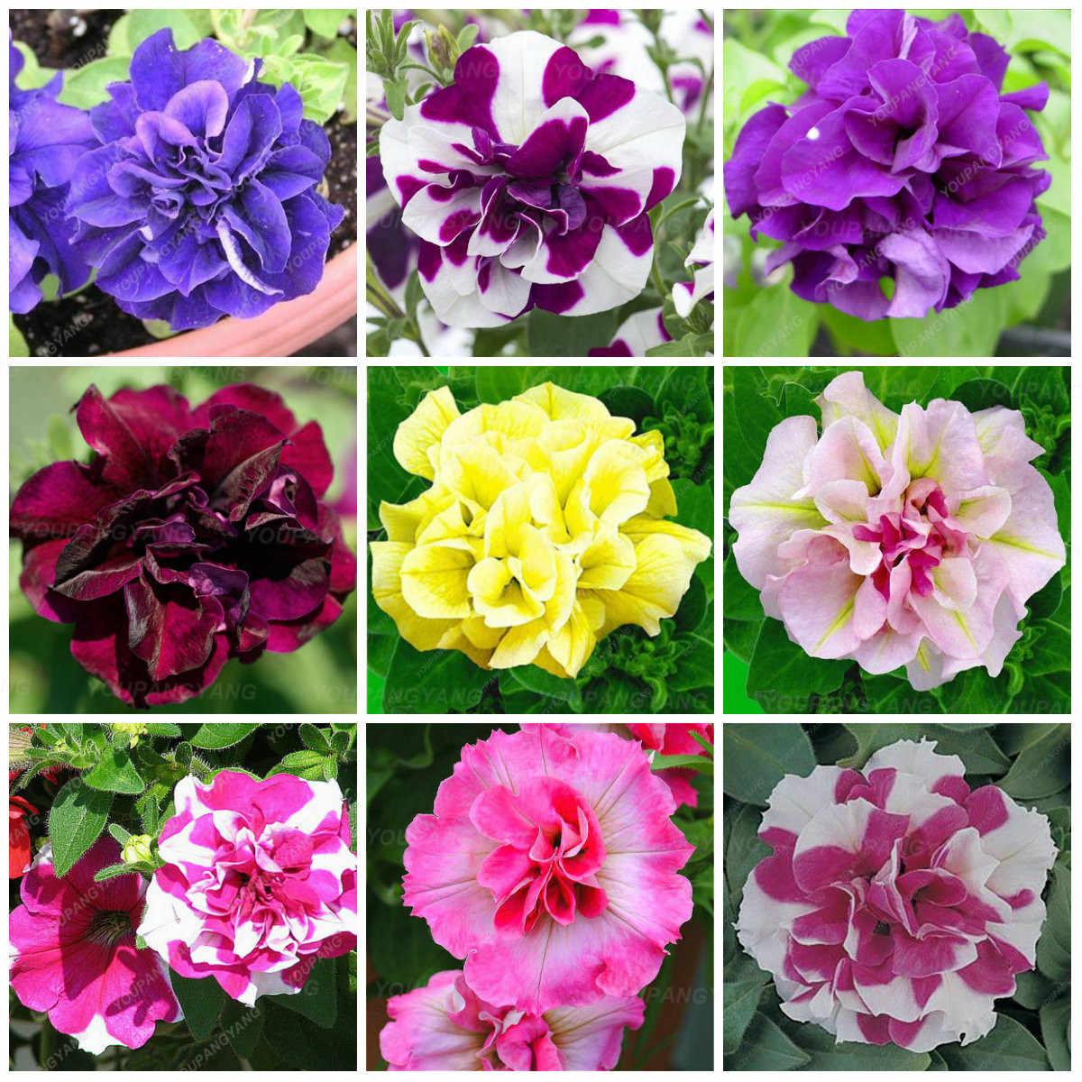 50 قطعة/الحزمة ، مزيج حديقة بتونيا الريشة زهرة القرن بونساي نبات زهرة للمنزل و حديقة