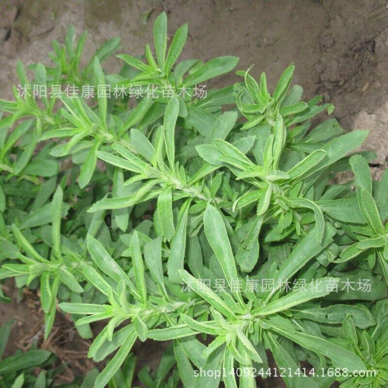 Bonsaï fleur de vanille douce plante Stevia feuille prêt à manger véritable sécurité 200 g/paquet