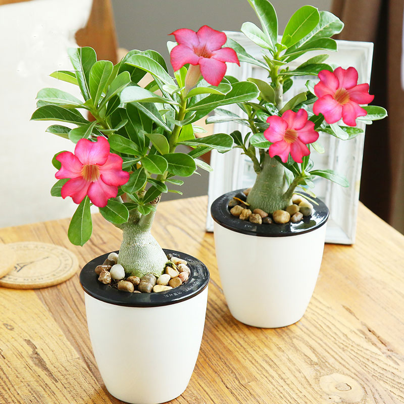 Multicolor Red Rose Seed Potted Plants Red And Bright