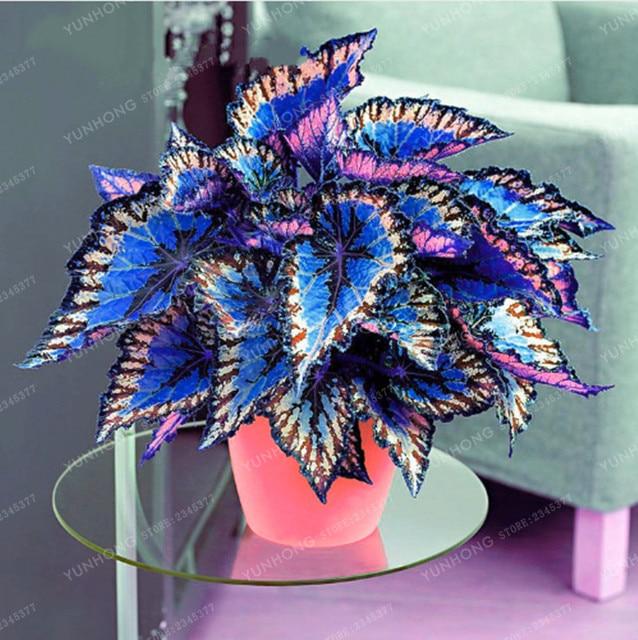 100 قطع Janpanse بونساي القوليوس النبات أوراق الشجر النباتات الكمال اللون قوس قزح التنين بونساي جميل زهرة النبات حديقة Semente
