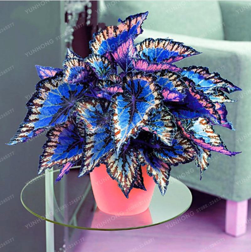 100 шт. Janpanse карликовые деревья Coleus растительная листва растения идеальный цвет Радуга Дракон Красивые цветочные Растения Сад Semente