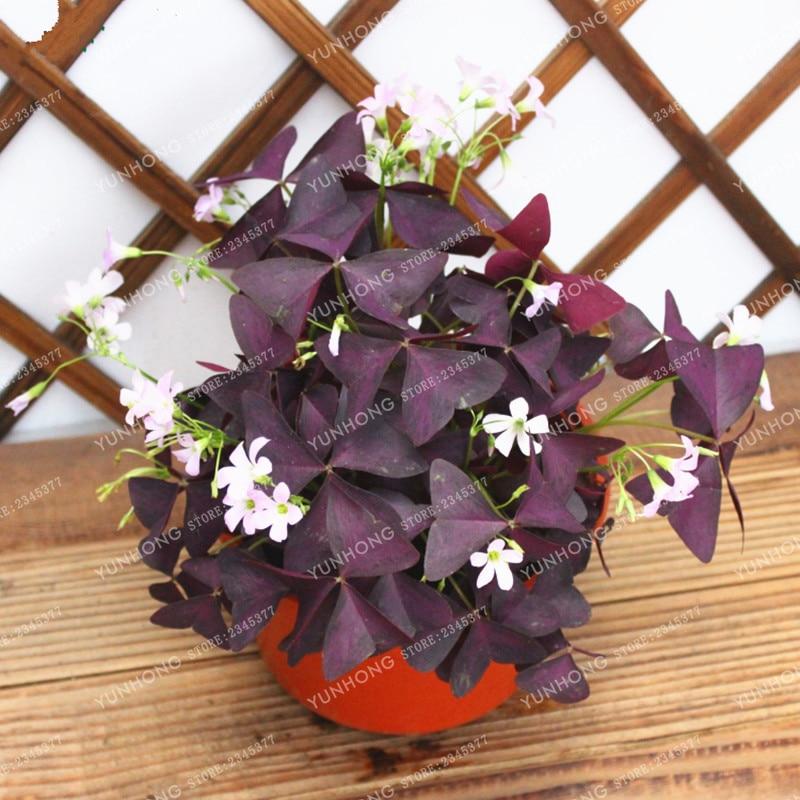 100 Pcs Oxalis Wood Sorrel Flower Oxalis Purple Shamrock Clover 100% Real Flower Bonsai Seeds Perennial Outdoor for Home Garden