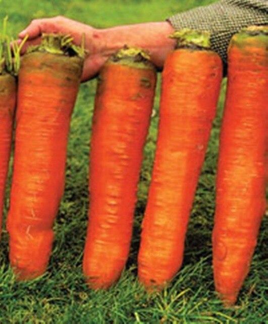 100 шт. Семена Моркови Krasnyy Velikan-Красный Гигант Органическая России Фамильные семена Овощных культур