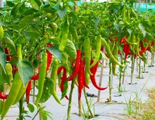 Fresh Giant Pepper Seeds, Chili Seeds, 100pcs/pack