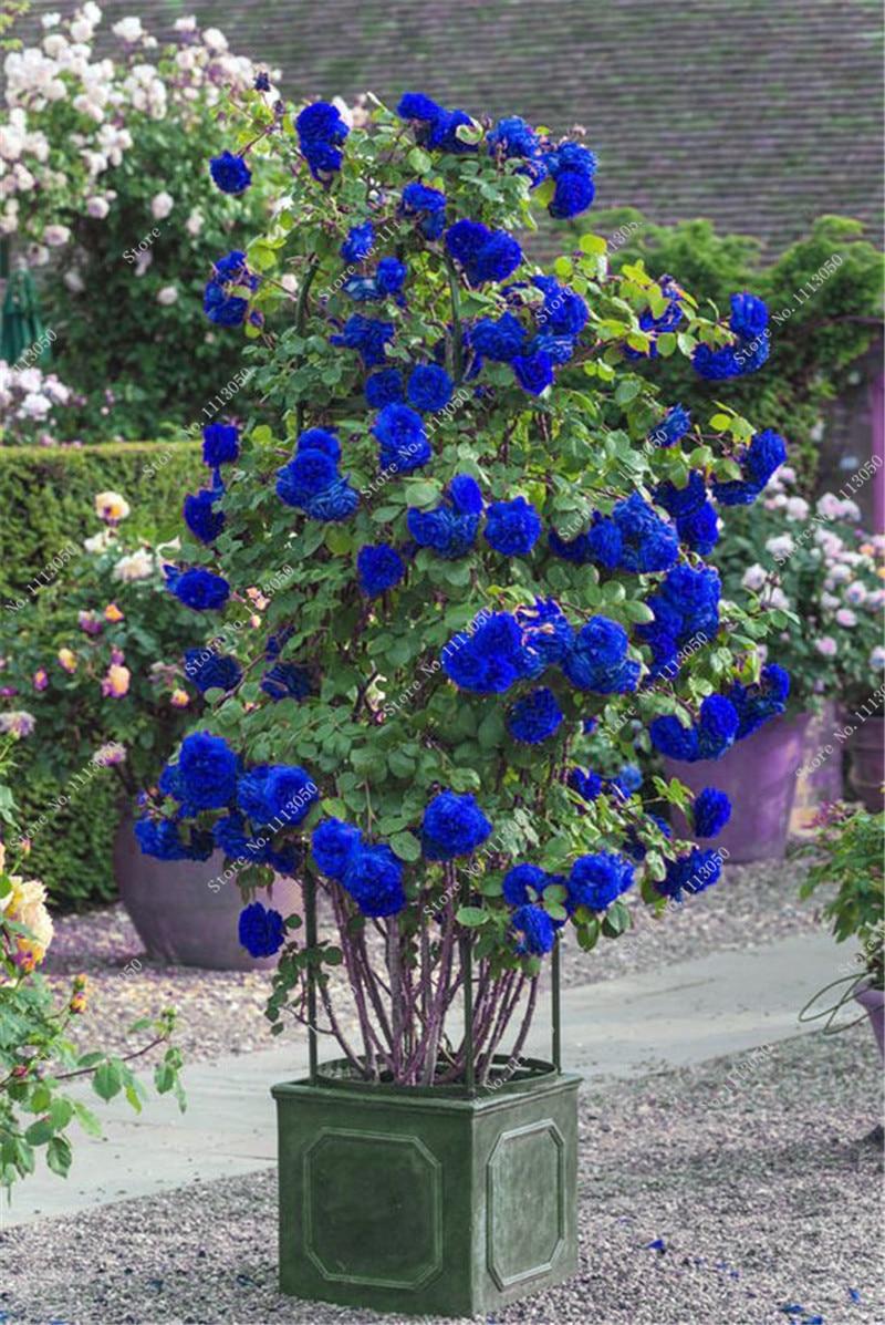 100 Blue Rose Tree Seedsperennial Flower Seedsdiy Home Garden