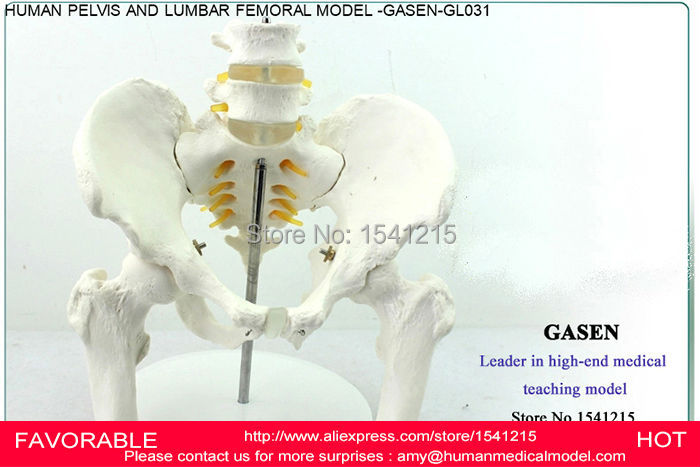 TEACHING MEDICAL HUMAN PELVIS LUMBAR FEMORAL HEAD ORTHOPEDICS PELVIS PELVIS BONE BODY SKELETAL SKELETAL MODEL -GASEN-GL031 12338 cmam pelvis01 anatomical human pelvis model with lumbar vertebrae femur medical science educational teaching models