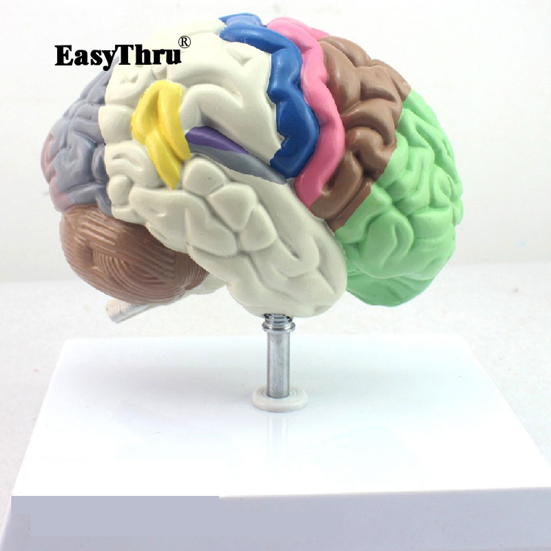 Modèle anatomique humain Partition cerveau chambre hémisphère modèle de télencéphalon