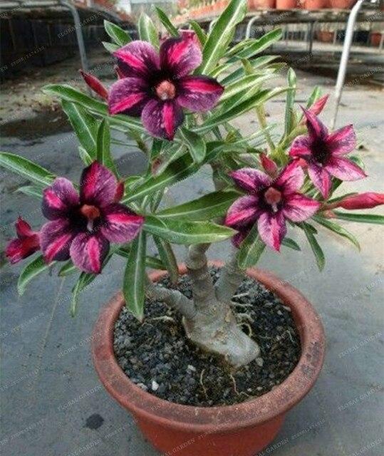 5 st cke seltene braun schwarz w stenrose samen balkon bonsai zier blumen adenium obesum seeds. Black Bedroom Furniture Sets. Home Design Ideas