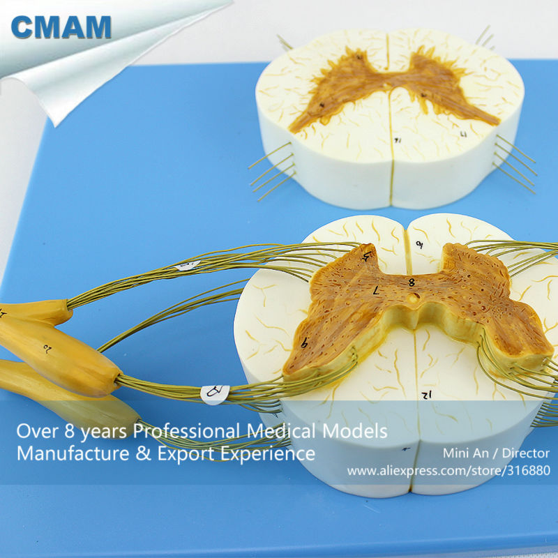 12397 CMAM-VERTEBRA13 Human Spinal Cord with Nerve Branches Medical Skeleton Model cmam nasal01 section anatomy human nasal cavity model in 3 parts medical science educational teaching anatomical models
