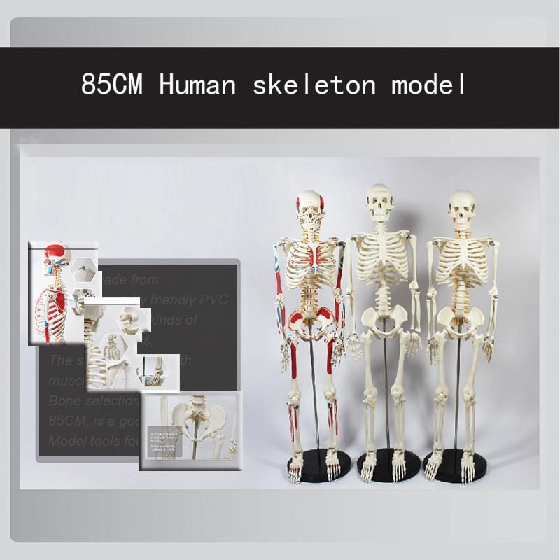 Professional recommendations biological Middle size skeleton model 85cm human skeleton anatomical model professional recommendations life size human anatomical skeleton medical model