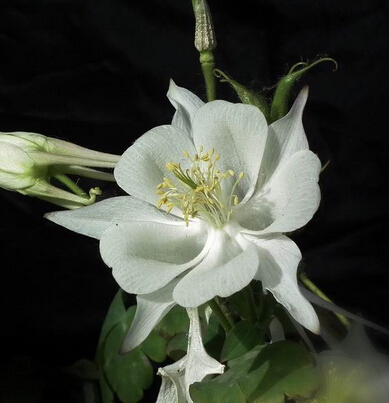 online get cheap columbine flower aliexpress  alibaba group, Beautiful flower