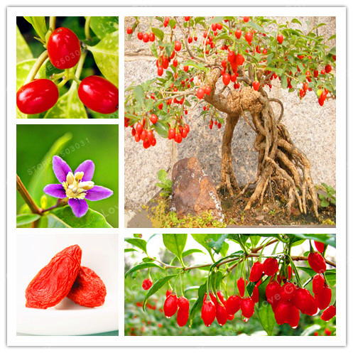 100 шт. ягоды годжи Китайский Wolfberry карликовые деревья трав бонсай растения в горшках домашний сад открытый дом растений, самые популярные ве...