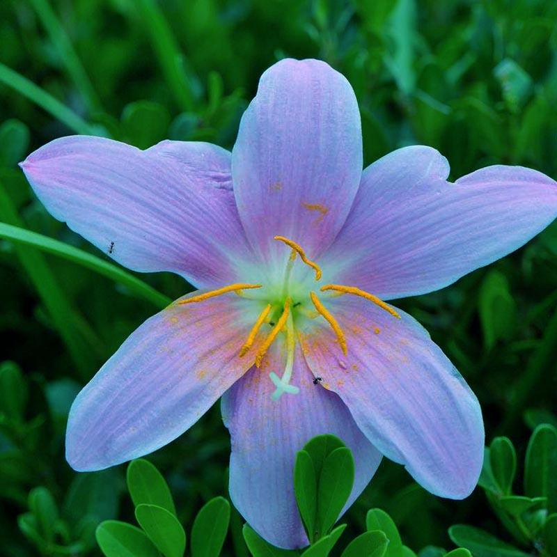 Garden Supplies Zlking 2 Bulbs Multiple Colour Zephyranthes Candida Bulb Zephyranthes Candida Bonsai Flower Bulbs Outdoor Plant Natural Growth