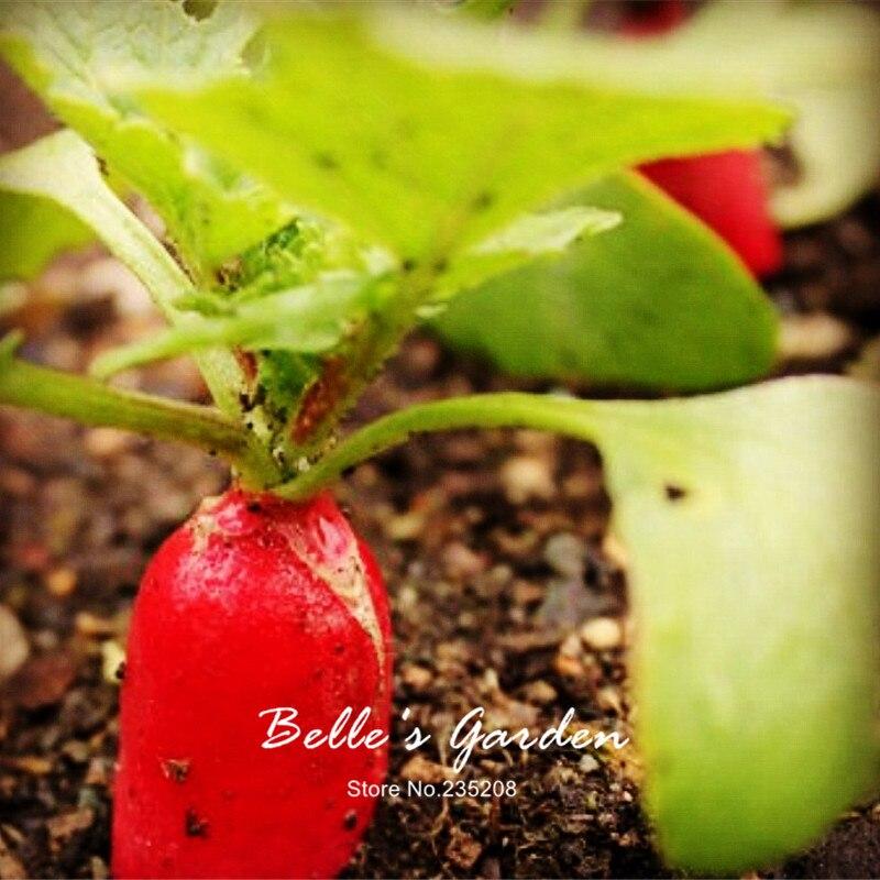 100pcs Heirloom Round De 18 Jours Radish Seeds Imported Red Oganic Radish Home Garden Fruit Vegetable Seeds