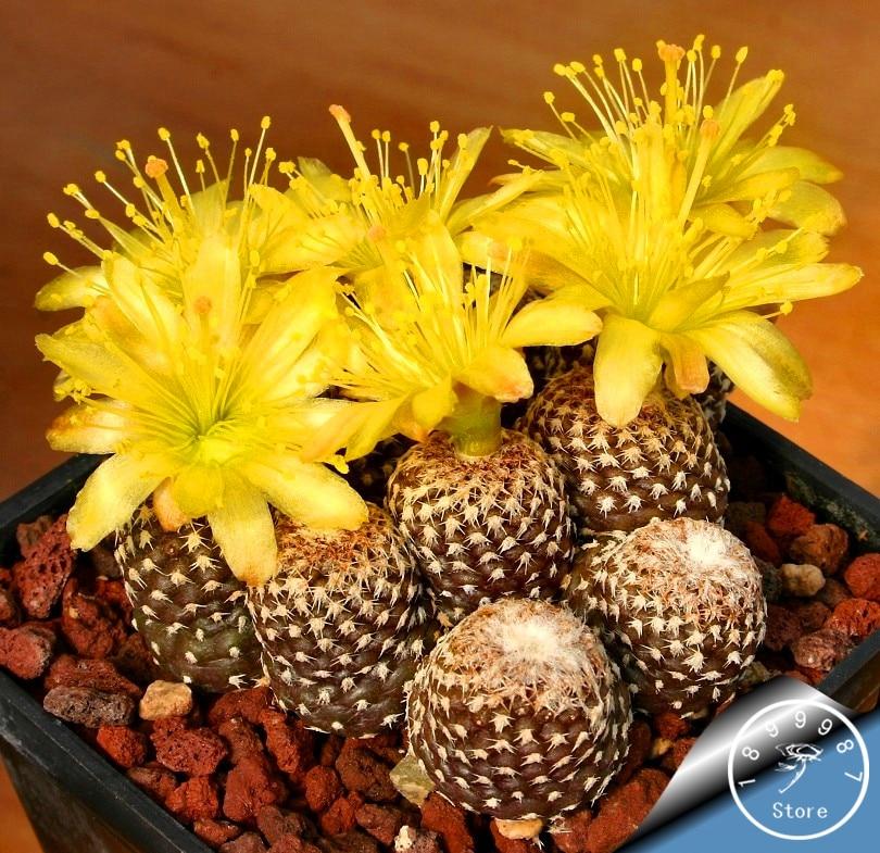 Best-Selling!100 Pieces/pack Ball Cactus Garden Rare Succulent Plant Plantas Bonsai Celestial Flower Pot Planters Flores,#ML99XT