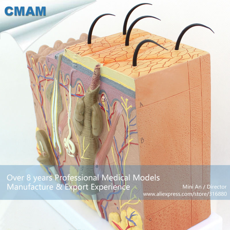 12530 CMAM-SKIN01 Beauty Science Human Skin Block with Hair Anatomy Models 12530 cmam skin01 anatomical human skin structure section block model 70x medical science educational anatomical models