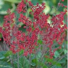 400 BRESSINGHAM MIXED CORAL BELLS Heuchera Sanguinea Flower Seeds~beautiful