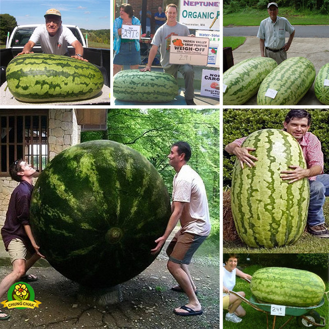 Free shipping 2018 Hot Giant Watermelon Seeds 50pcs Fruit seed Vegetable Interest Easy to plant For Garden & Farm Family Plant
