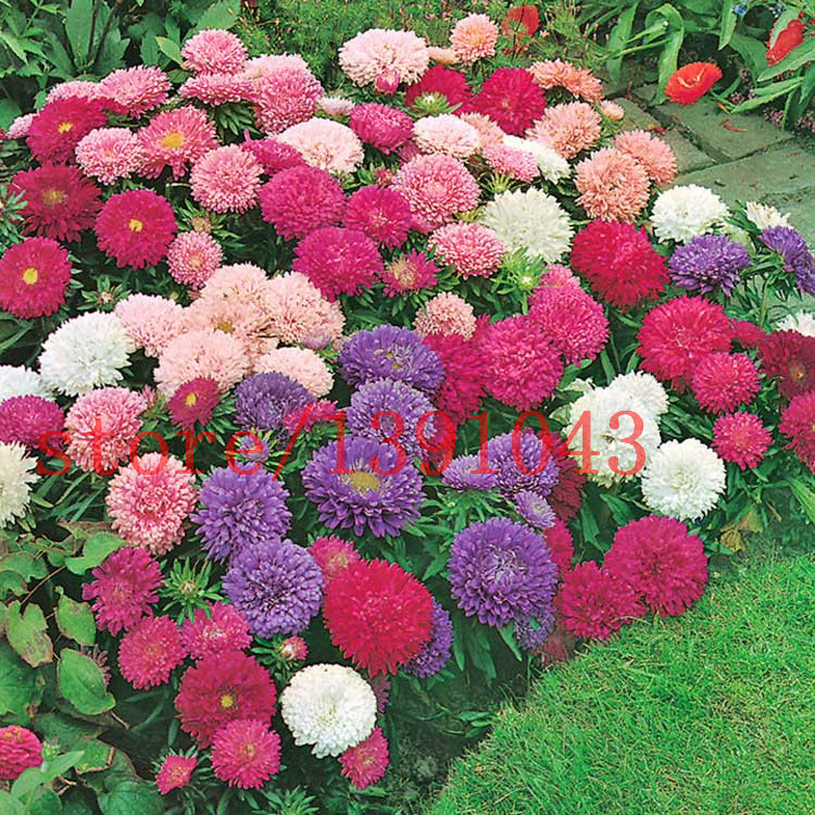 200 aster seeds chinese Chrysanthemum Callistephus Chinensis - Powder Puff Mix flower seeds for home garden planting