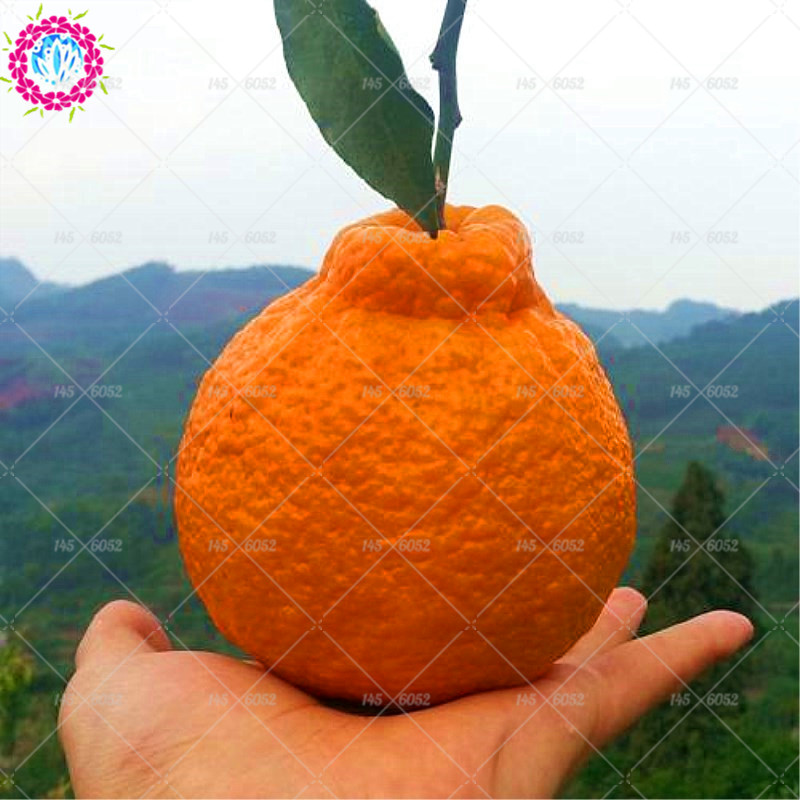40pcs Japanese Gaint Ugly Orange Seeds Delicious and Super Sweet FRUIT SEEDS PERENNIAL OUTDOOR PLANT TREE SEED FOR HOME GARDEN