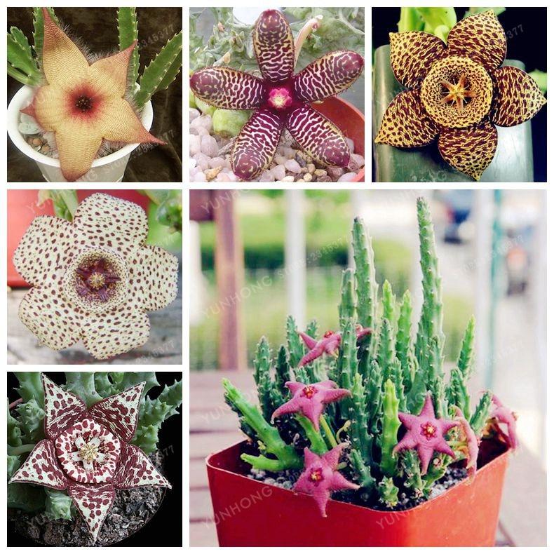 Stapelia Pulchella Seeds Lithops Mix Succulents Raw Stone Cactus Seeds Rare For Home Garden Flower Bonsai Plants 100 Pcs
