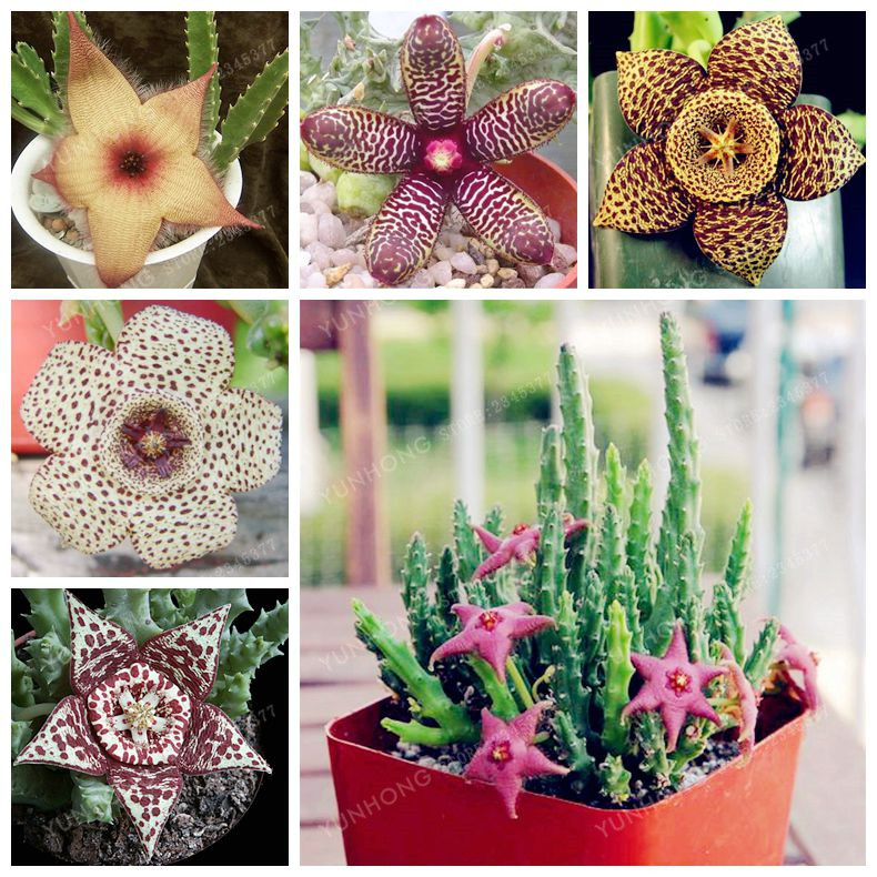 stapelia pulchella semillas lithops mix suculentas raras semillas de cactus de piedra en bruto para el hogar jardn de plantas b